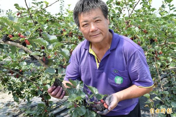 水林果樹產銷班長黃正源培育出的「水林黑鑽石」桑椹,品質受到肯定。(記者黃淑莉攝)
