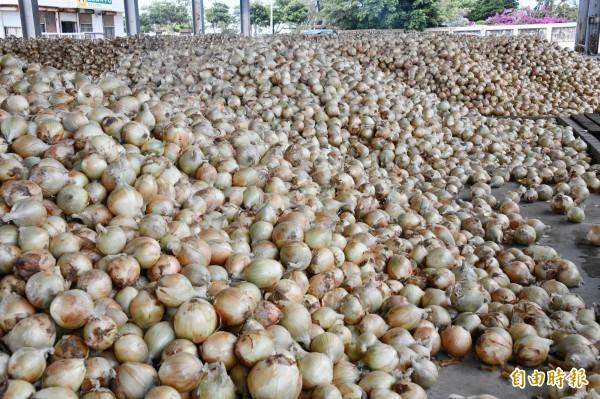 目前是全台洋蔥產量的「飽和點」。(記者蔡宗憲攝)