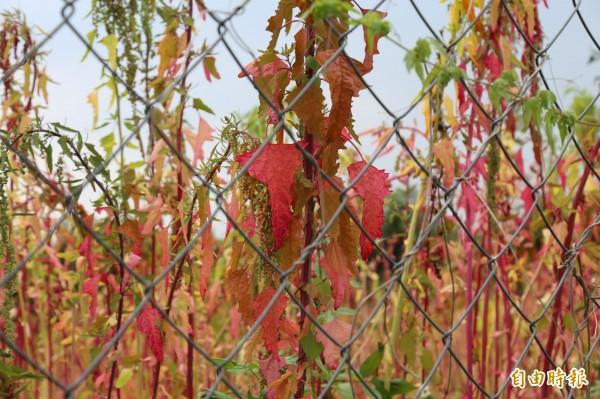 台灣原生種紅藜是部落傳統作物。(資料照,記者邱芷柔攝)