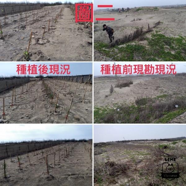 農業局提供大甲松柏漁港北側植樹前後照片供民眾比較,澄清絕未砍樹再種樹。(圖由農業局提供)