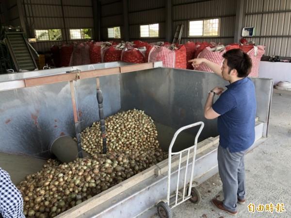 日商顧問山口祐輔在洋蔥田和集貨場實際測試品嚐。(記者蔡宗憲攝)