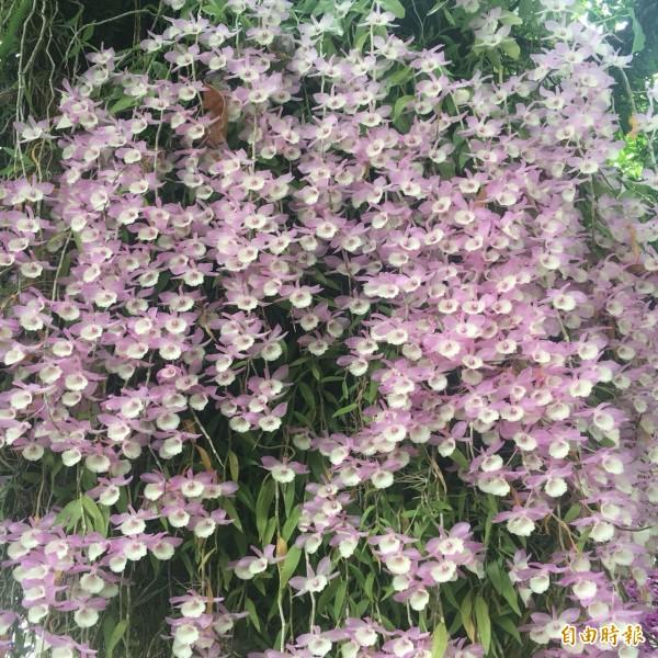 盛開中的石斛蘭,宛若花瀑。(記者蔡宗勳攝)