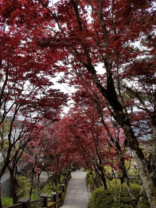 太平山莊的紫葉槭,近日已全數轉回紫紅色,中央階梯 化身為「紅葉隧道」。(羅東林管處提供)