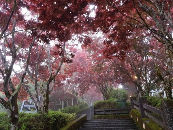 太平山莊的紫葉槭,近日已全數轉回紫紅色,鮮豔色調將山頭抹紅。 (羅東林管處提供)