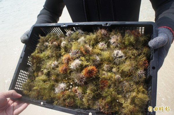 澎湖縣政府成立烏崁海膽保育區,不時進行放流保種。(記者劉禹慶攝)