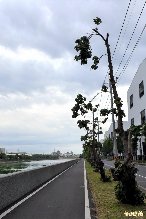 台江山海圳綠道位於和順工業區路段的黃槿樹,遭不當修剪,有的只剩「兩隻手」。(記者蔡文居攝)