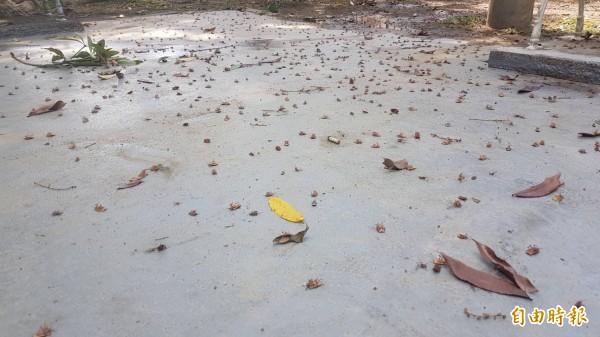 荔枝椿象蟲屍數以千計,讓人頭皮發麻。(記者丁偉杰攝)