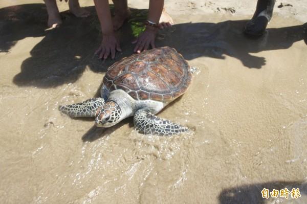 海龜聽聞海浪拍打聲浪,急忙重返大海懷抱。(記者劉禹慶攝)