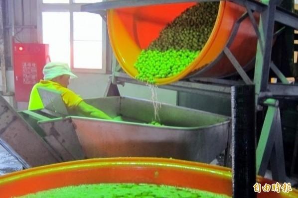 南投縣農會青梅醃製加工。(資料照,記者謝介裕攝)