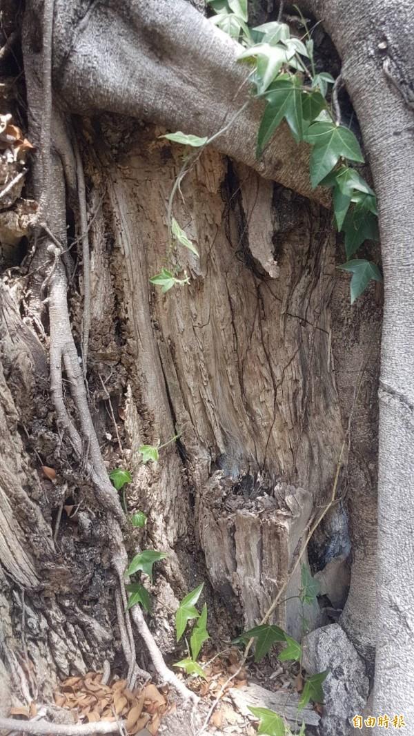 老榕樹因受到褐根病等病菌侵襲,樹幹日漸腐爛。(記者丁偉杰攝)