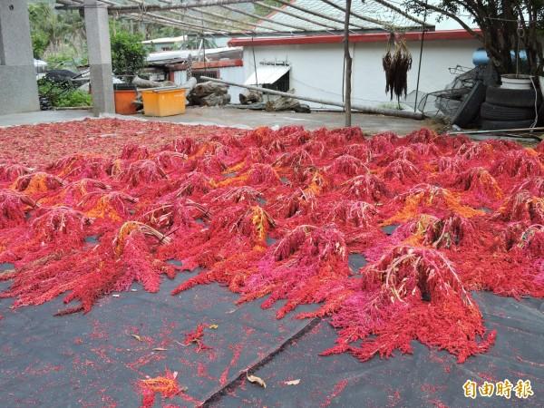 南迴地區小農多日曬紅藜,品質較不穩定。(記者張存薇攝)