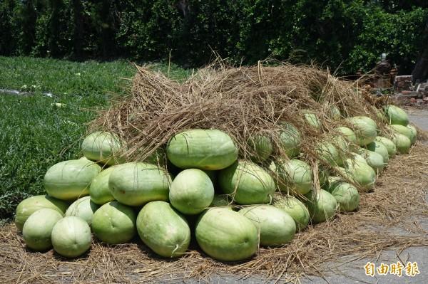今年西瓜即將進入盛產期,在天候穩定下,甜度足,價格也比去年同期便宜。(記者劉曉欣攝)