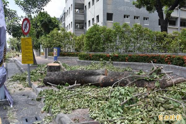 鶴聲國小老木棉樹被砍除,引起愛樹人的關切。(記者葉永騫攝)