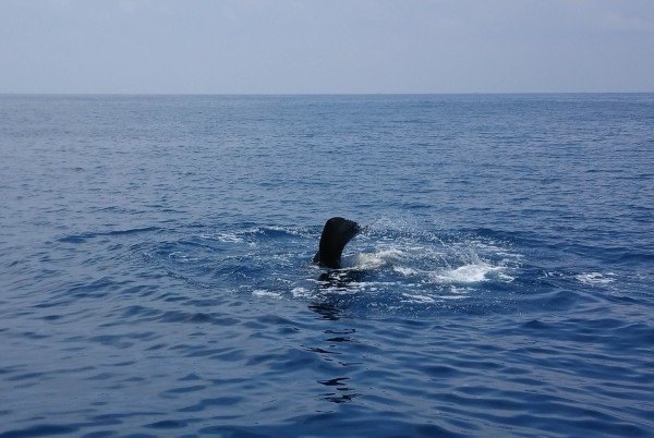 抹香鯨因有季節洄游性,花蓮海域夏季多半都能發現牠們的身影數次。(花蓮賞鯨業者多羅滿提供)