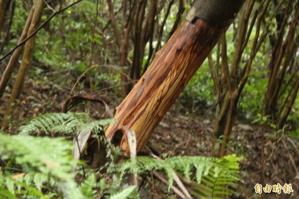 關西鎮代會主席、劉名登祭祀公業總幹事劉德樑說,如圖受害樹,是當地已知最大棵的「被害者」,相當1個女人的腰粗。(記者黃美珠攝)