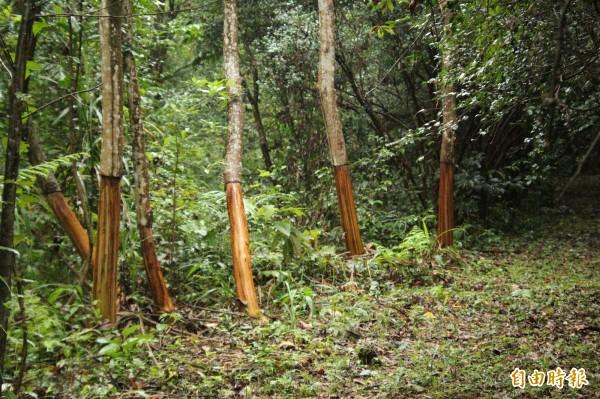 新竹縣生態休閒發展協會總幹事劉創盛說,如圖被環狀剝皮的樹木,1年就會死亡。(記者黃美珠攝)