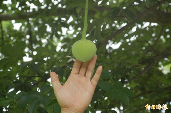非洲猢猻樹垂掛而下的花苞長相特殊。(記者李立法攝)