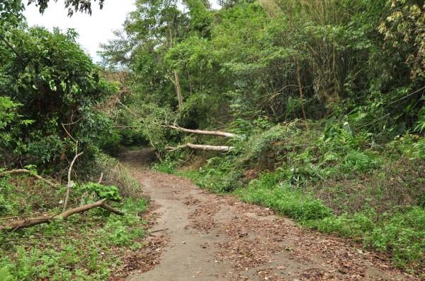 環團在拍下不正常風倒木有異常鋸口的同一天,也用相機記錄下正常的風倒木,是被連根拔起的受災樣子。(記者黃美珠翻攝)
