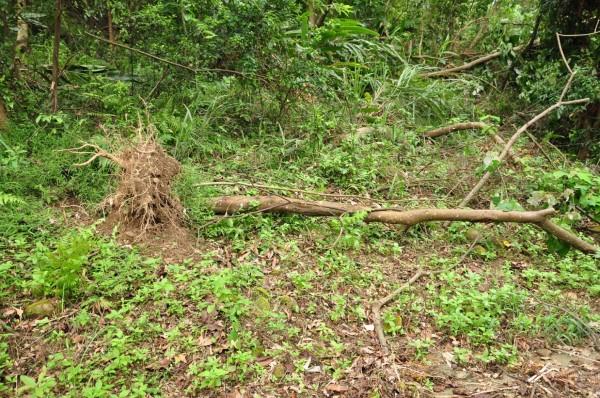 正常的風倒木,連根拔起,不會有鋸口。(記者黃美珠翻攝)