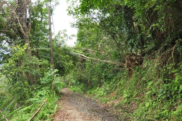 環團在拍下不正常風倒木有異常鋸口的同一日,也用相機記錄下正常因風災而連根拔起的風倒木外觀。(記者黃美珠翻攝)