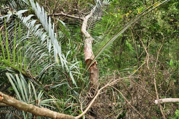 環團提供不正常的風倒木折斷處有明顯鋸口。(記者黃美珠翻攝)