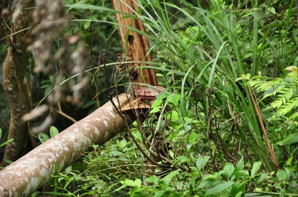 環團指控,有不肖山老鼠勾結地方人士,利用颱風來襲前幾天,在看準的樹木先鋸個破口,再佯裝是風倒木報請災害搶修移除,其實是人為的另1種盜砍、盜伐。(記者黃美珠翻攝)