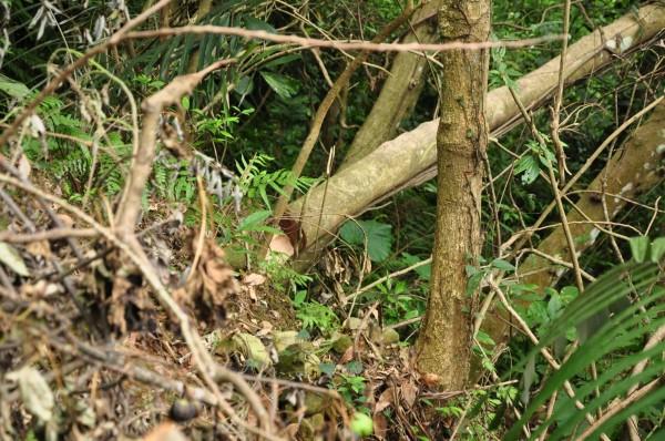 環團提供不正常的風倒木折斷處有明顯鋸口,根本是人為造成樹倒,並非颱風。(記者黃美珠翻攝)