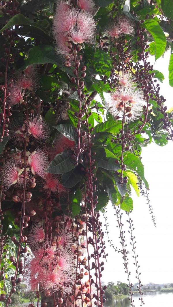 宜蘭縣五十二甲濕地的水茄苳花況。(圖由賴錫湖提供)