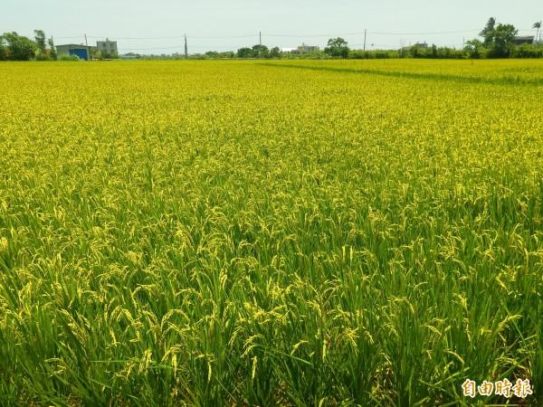 對照新豐瓜農擔心西瓜泡水趕緊採收,稻農則滿心期待今年的首波梅雨,能及時解除旱象。(記者廖雪茹攝)