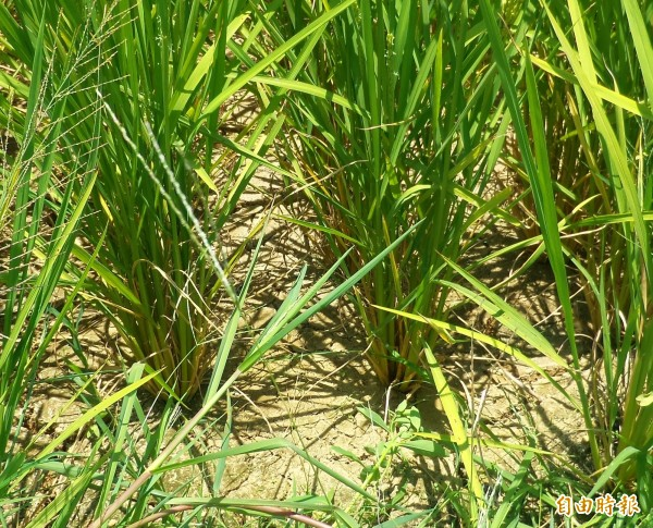 新豐、湖口地區位在石門水庫大圳灌溉系統的尾端,部分稻田因缺水已呈現乾涸龜裂,農民擔心滿心期待這波梅雨,否則恐將發生搶水大戰。(記者廖雪茹攝)