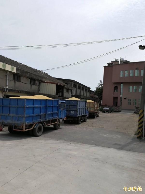 運稻穀的貨車在烘乾場外大排長龍。(記者廖淑玲攝)