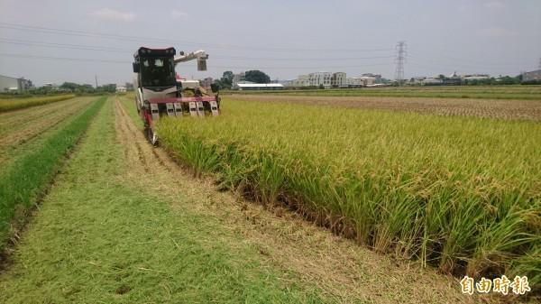 面對滯留鋒加西南氣流,台南溪北農民今天趁沒雨空檔,急調割稻機搶割稻穀,心情焦急。(記者楊金城攝)