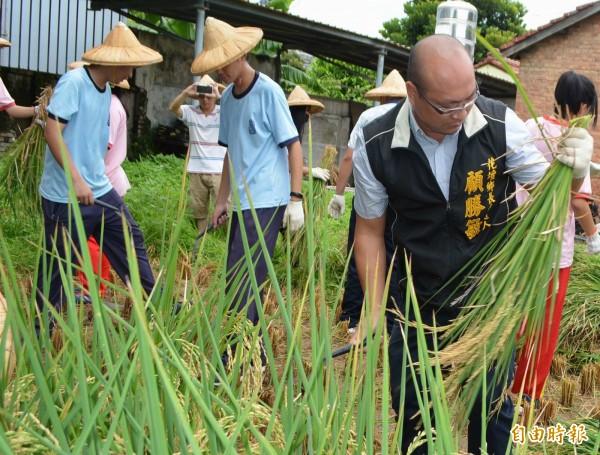 花壇鄉長參選人顧勝敏(右)從小常下田割稻,今天與花壇國中學生一起收割,動作熟練。(記者湯世名攝)