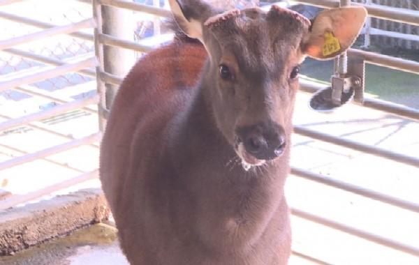 水鹿個性溫馴,但公鹿在發情期,母鹿為保護小孩,還是會有攻擊行為。(記者劉曉欣翻攝)