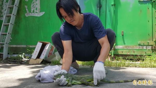池上青農魏瑞廷將出沒在水圳的綠鬣蜥帶回家暫時安置。(記者王秀亭攝)