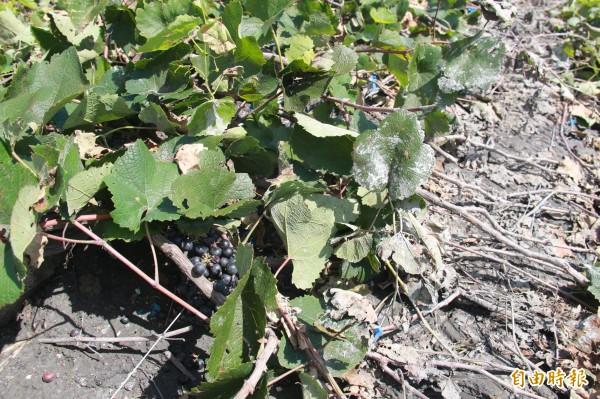 葡萄長在地上?其實是葡萄園倒塌,果實全被壓在地上。(記者陳冠備攝)