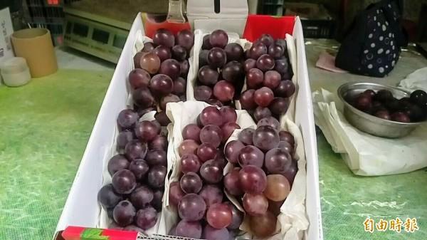 颱風來襲,葡萄農顧不得葡萄未完全轉色,就趕緊搶收下來,就怕颱風過境會全泡湯。(記者劉濱銓攝)