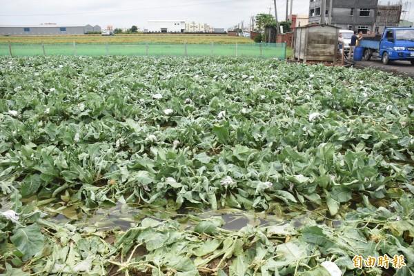 菜田被大雨狂炸,天氣放晴菜經曝曬變爛,無法收成。(記者張聰秋攝)