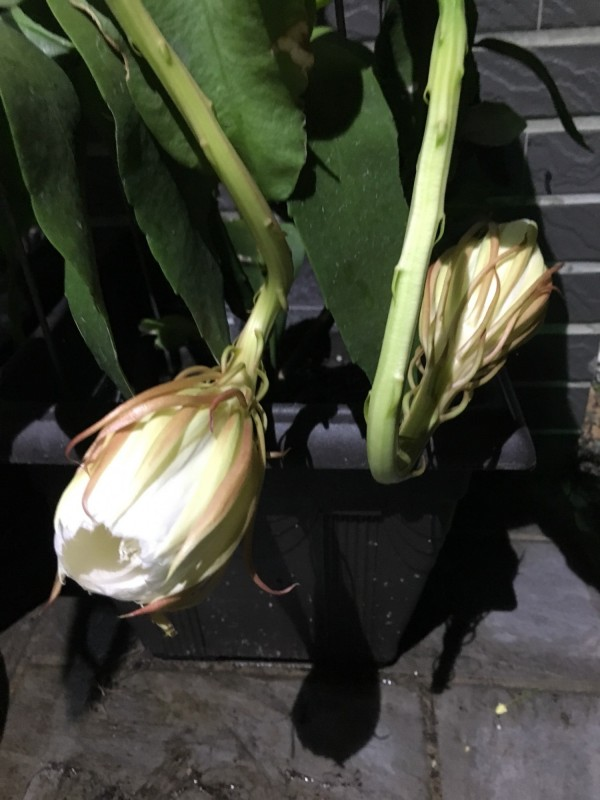 2朵曇花開花露臉。(葉濬明提供)