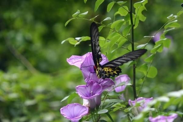 洲仔濕地發現第三級保育類的台灣特有亞種「黃裳鳳蝶」(工務局提供)
