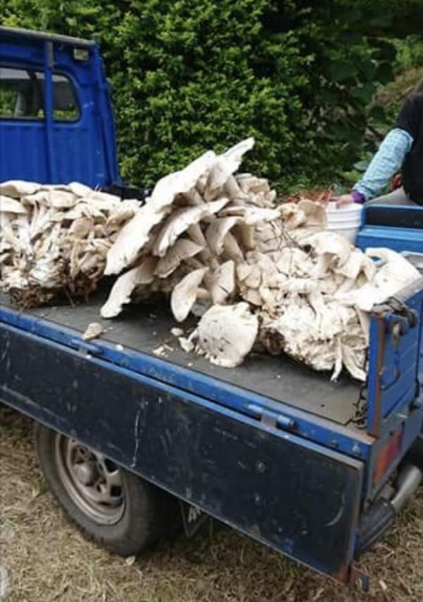 巨大的「金福菇」,得用小貨車載運。(吳進貴提供)