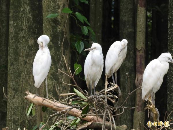 曾是成群白鷺鷥棲息的「黑森林」,牠們停在已經傾倒的樹上,似乎也知道將無家可歸。(記者佟振國攝)