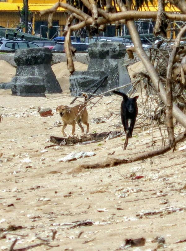 鳥巢附近的流浪狗嚴重侵擾蒼燕鷗繁殖。(記者蔡宗憲翻攝)