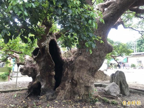 茄苳神木的內部腐爛,肇因棲地長期不良,導致根部無法呼吸與生長萎縮。(記者佟振國攝)