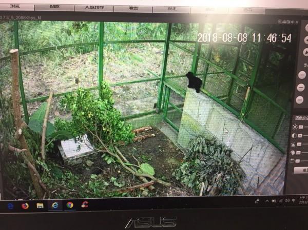 小黑熊今天搭直升機送到台灣中部的特生中心,在佈置仿照自然環境的籠舍適應中。(林務局提供)