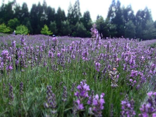 台大實驗農場梅峰本場的薰衣草開花的美景。(台大實驗農場梅峰本場提供)