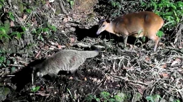 福山植物園果子狸(左)和山羌狹路相逢逗趣畫面。(圖擷取自劉一新臉書)