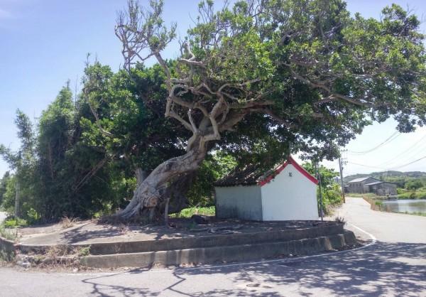 老榕樹緊鄰著土地公廟,是當地居民的重要回憶。(記者鄭名翔翻攝)
