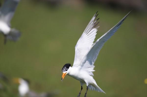 曾消失一甲子的神話之鳥「黑嘴端鳳頭燕鷗」,確認澎湖是主要的繁殖地。(圖由澎湖縣政府農漁局提供)