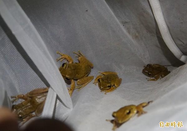 台灣永續聯盟與民眾移除斑腿樹蛙,消滅外來種生物。(記者詹士弘攝)